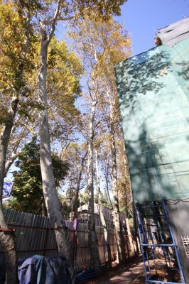 Platanus acerifolia Londra Çınarı