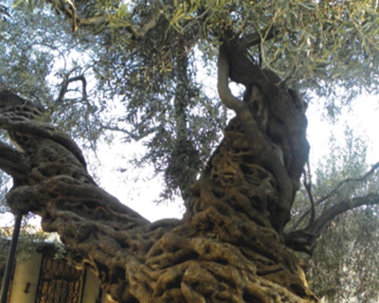 Bugün Yaşamayan Ünlü Ağaçlar (6)