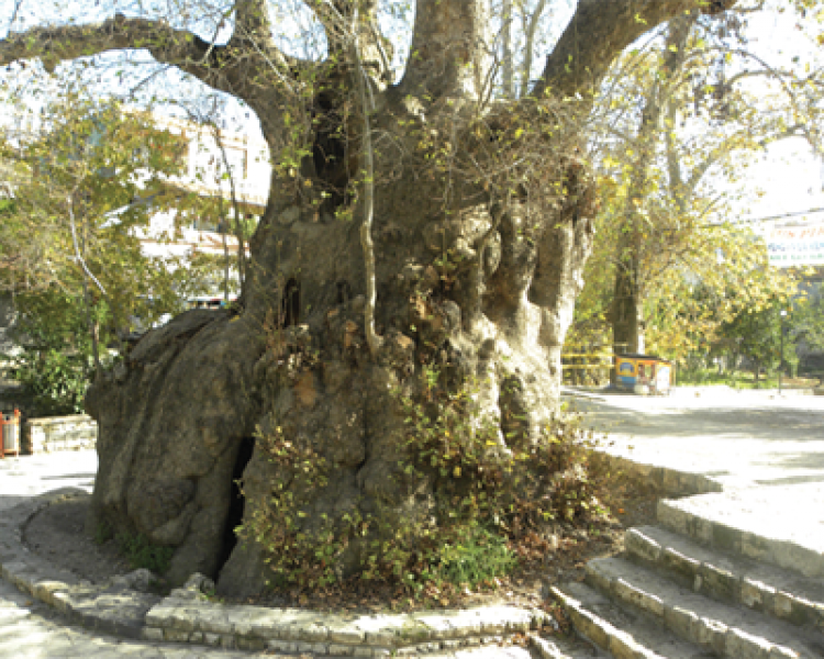 Folklorik Yönü İle Anıt Ağaçlar (8)