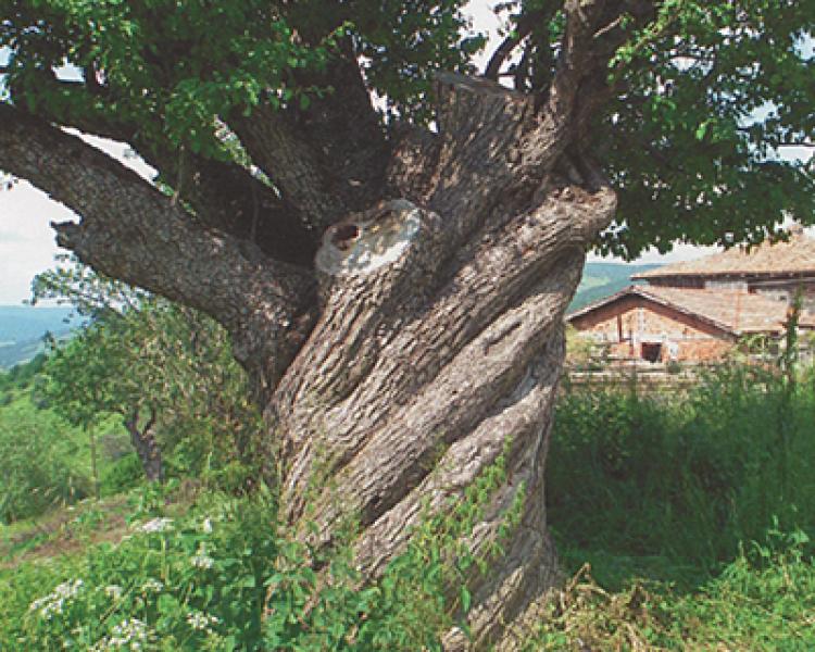 Görsel Özellikler Yönünden Anıt Ağaçlar (3)