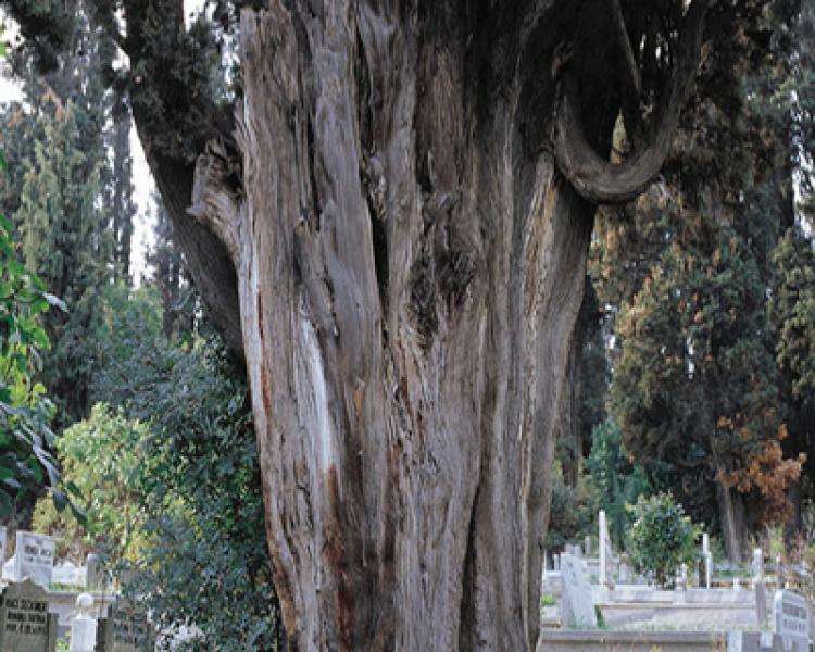 Şiir, Şarkı ve Romanlarda Anıt Ağaçlar (10)