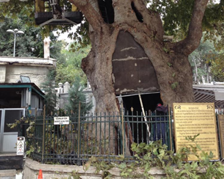 Tarihsel Yönü İle Anıt Ağaçlar (5)
